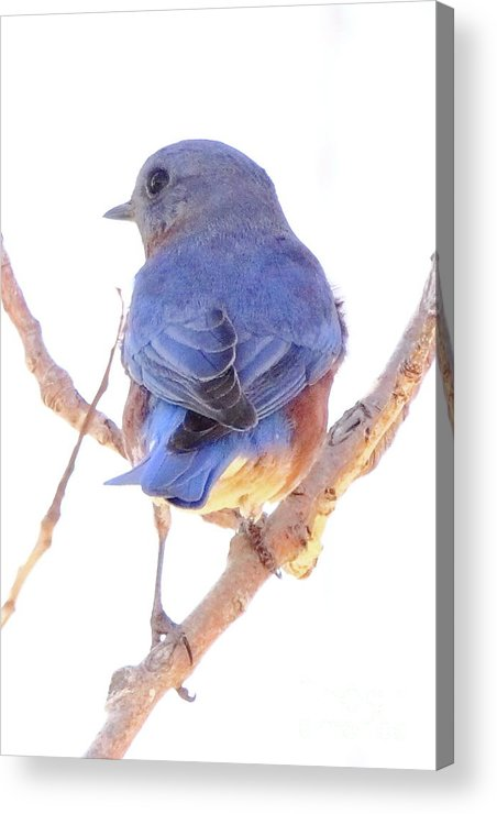 Animal Acrylic Print featuring the photograph Bluebird On White by Robert Frederick