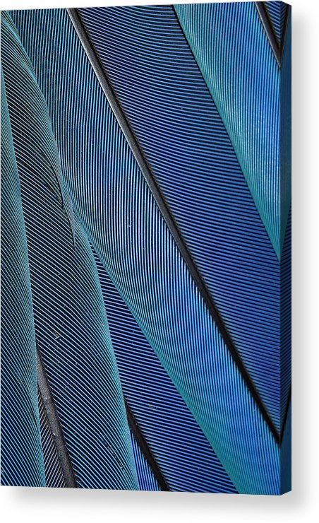 Blue Feathers Acrylic Print featuring the photograph Blues by Bill Morgenstern