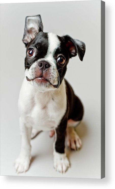 Vertical Acrylic Print featuring the photograph Boston Terrier Dog Puppy by Square Dog Photography