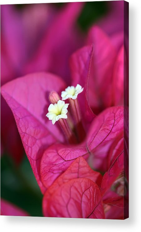 Bougainvillea Acrylic Print featuring the photograph Bougainvillea Burst by Lesley Smitheringale