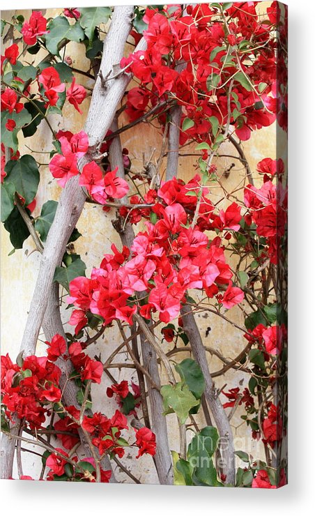Bougainvilla Acrylic Print featuring the photograph Bougainvillea by Carol Groenen