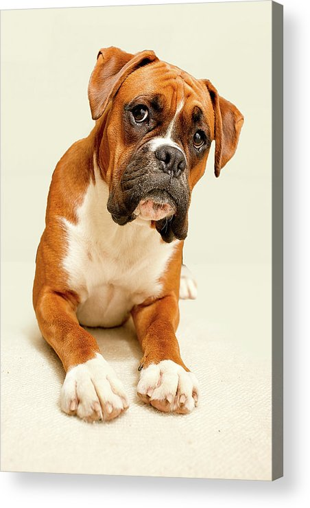 Vertical Acrylic Print featuring the photograph Boxer Dog On Ivory Backdrop by Danny Beattie Photography