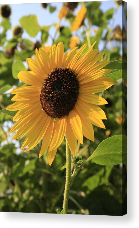 Sunflowers Acrylic Print featuring the photograph Brilliant By Association by Alan Rutherford