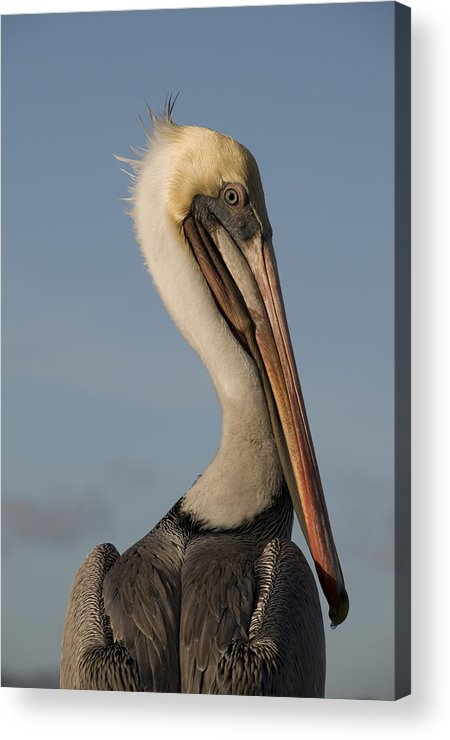 Pelican Acrylic Print featuring the photograph Brown Pelican by Alasdair Turner