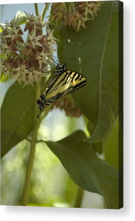 Flower Acrylic Print featuring the photograph Butterfly 1 by Sara Stevenson