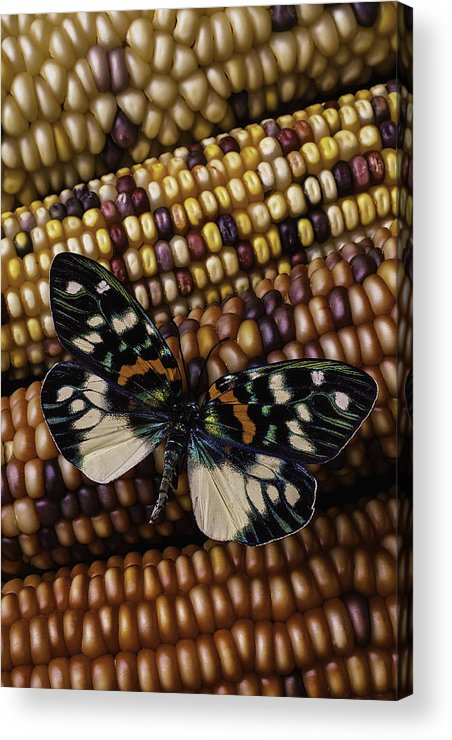 Indian Acrylic Print featuring the photograph Butterfly On Indian Corn by Garry Gay