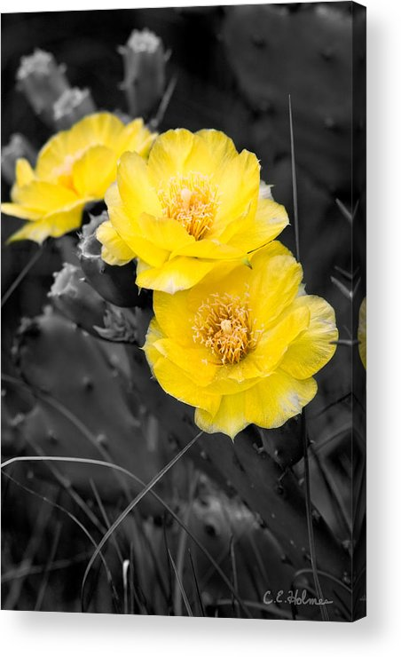 Cactus Acrylic Print featuring the photograph Cactus Blossom by Christopher Holmes