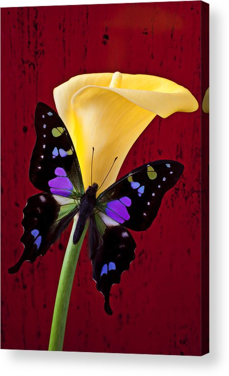 Butterfly Acrylic Print featuring the photograph Calla Lily And Purple Black Butterfly by Garry Gay