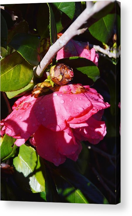 Camellia Light And Bud Acrylic Print featuring the photograph Camellia Light And Bud by Warren Thompson