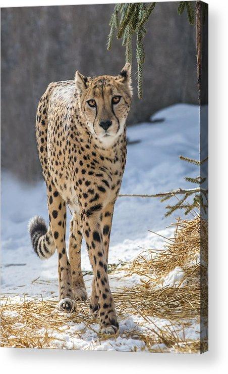 Cheeta Acrylic Print featuring the photograph Cheeta by Sue Matsunaga