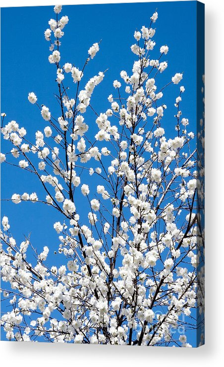 Nature Acrylic Print featuring the photograph Cherry Blossoms In Julian California by Julia Hiebaum
