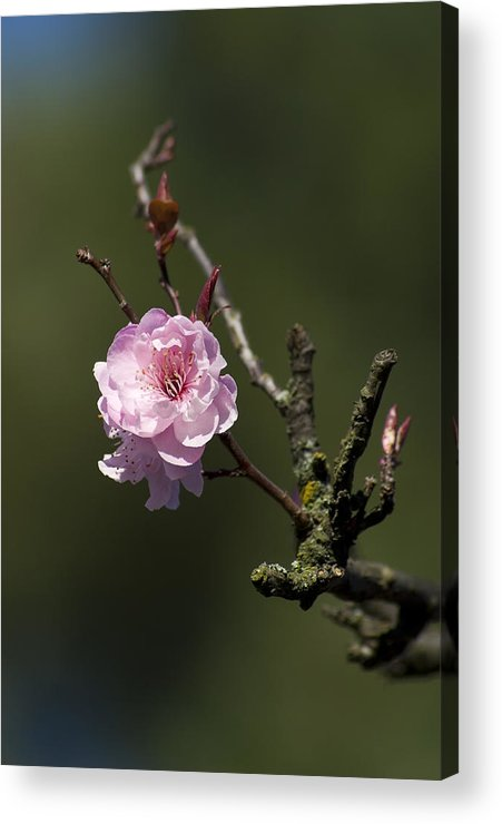 Сherry Acrylic Print featuring the photograph Cherry Tree Bloosom by Alexander Rozinov