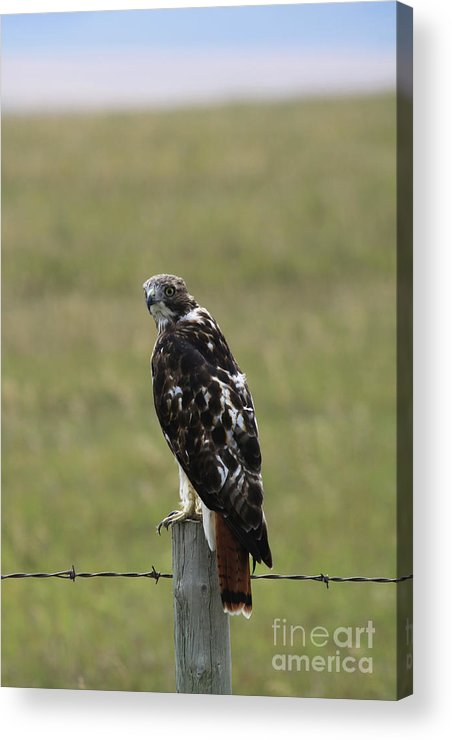 Chickenhawk Acrylic Print featuring the photograph Chickenhawk by Alyce Taylor