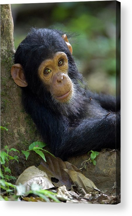 Mp Acrylic Print featuring the photograph Chimpanzee Pan Troglodytes Baby Leaning by Ingo Arndt