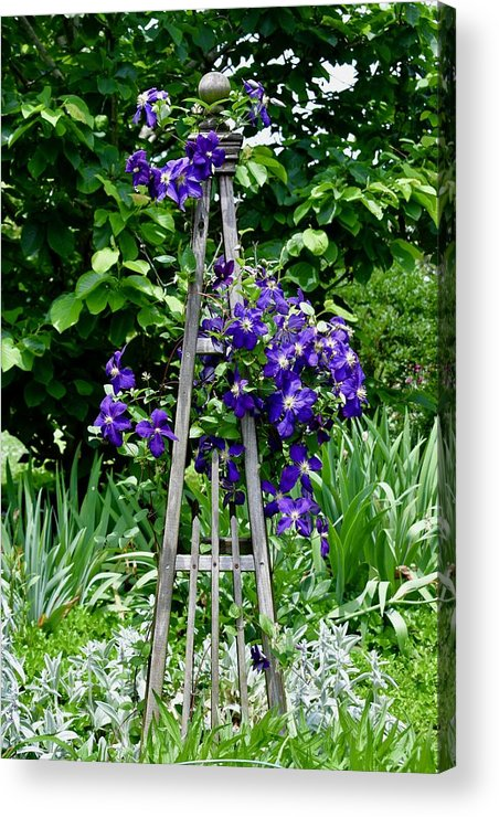 Clematis Vine Acrylic Print featuring the photograph Clematis Vine by Riley Nowling
