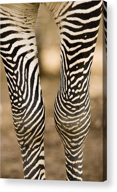 Captive Animals Acrylic Print featuring the photograph Closeup Of A Grevys Zebras Legs Equus by Tim Laman