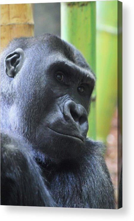 Gorilla Acrylic Print featuring the photograph Contemplation by Jennifer Englehardt