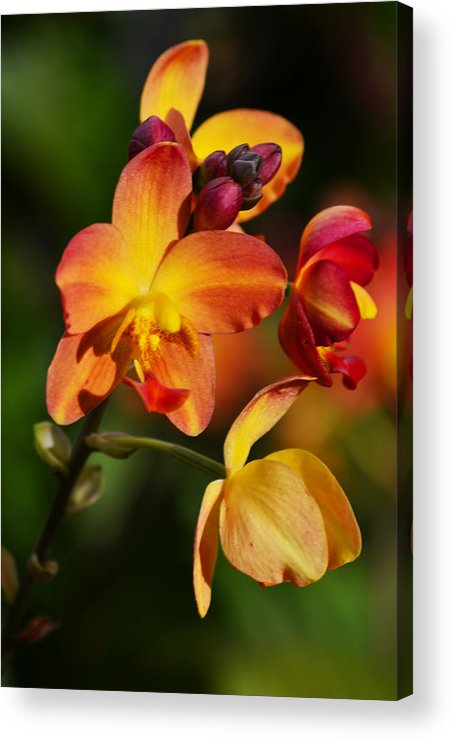 Flower Acrylic Print featuring the photograph Count Your Blessings by Melanie Moraga