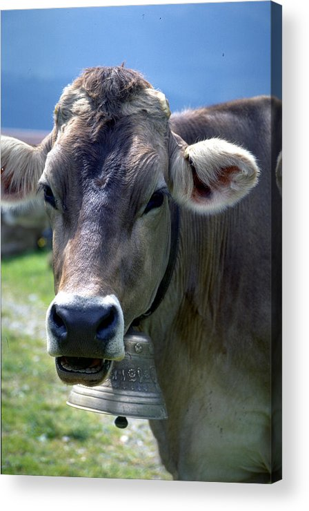Cow Acrylic Print featuring the photograph Cow by Flavia Westerwelle