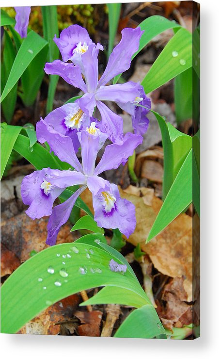 Iris Acrylic Print featuring the photograph Crested Dwarf Iris by Alan Lenk