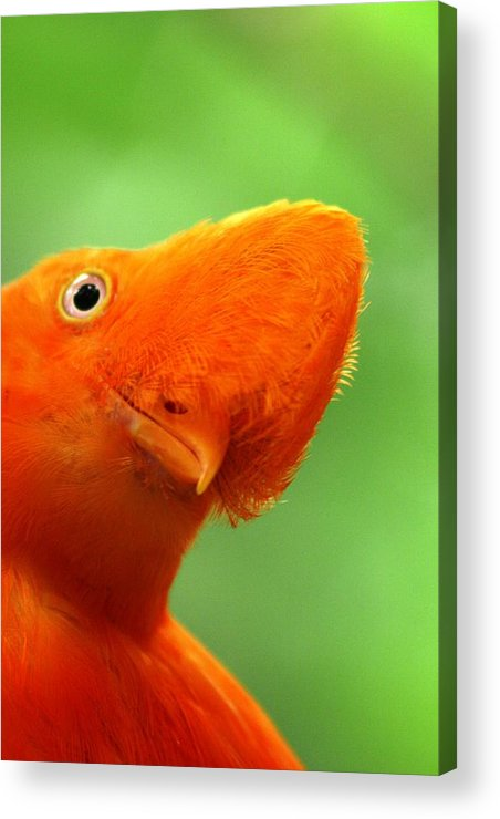 Orange Bird Acrylic Print featuring the photograph Curious by Linda Russell