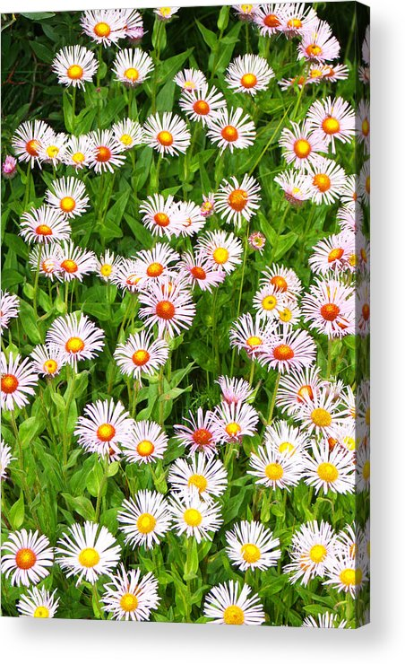 Floral Acrylic Print featuring the photograph Daisies by Robert Gladwin
