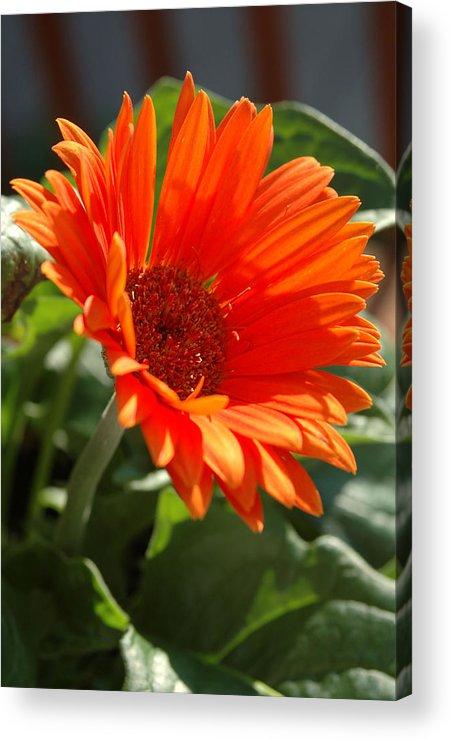 Daisy Acrylic Print featuring the photograph Daisy by Kathy Schumann