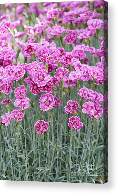 Dianthus Gold Dust Acrylic Print featuring the photograph Dianthus Gold Dust Flowers by Tim Gainey