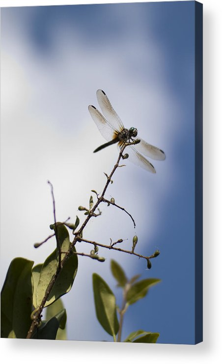 Dragonfly Acrylic Print featuring the photograph Dragonfly On A Limb by Dustin K Ryan
