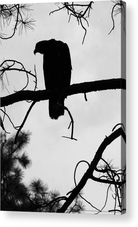 Nature Acrylic Print featuring the photograph Eaglet Silhouette by MH Ramona Swift