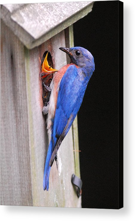 Songbird Acrylic Print featuring the photograph Eastern Bluebird And Chick by Alan Lenk