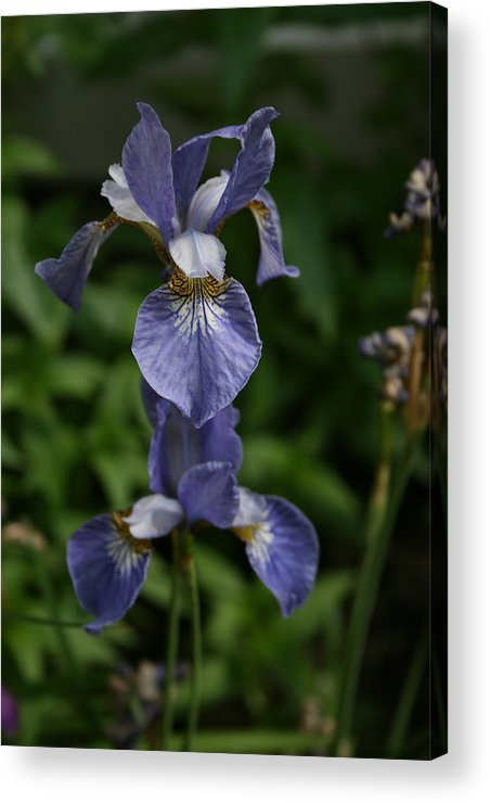 Flowers Acrylic Print featuring the photograph Elevated Iris by Alan Rutherford