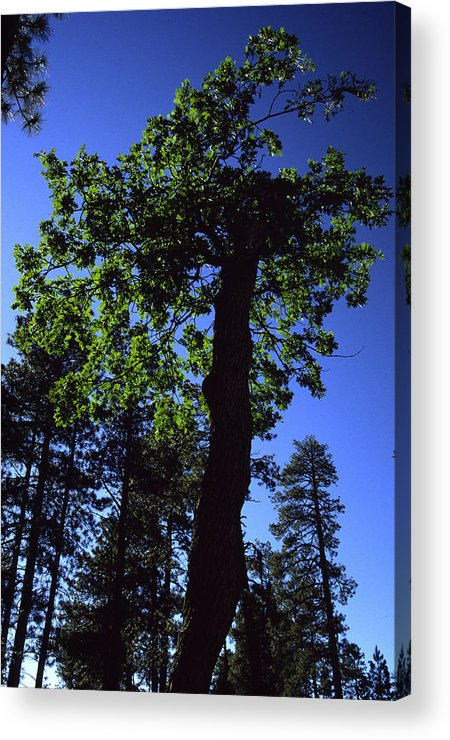 Oak Tree Acrylic Print featuring the photograph Emerald Oak by Randy Oberg