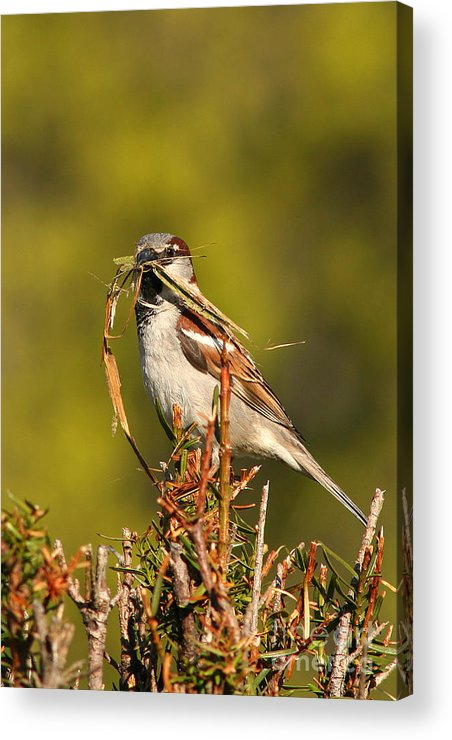 Sparrow Acrylic Print featuring the photograph English Sparrow Bringing Material To Build Nest by Max Allen