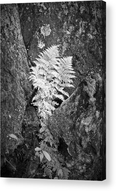 Fern Acrylic Print featuring the photograph Fernglow by Harry H Hicklin