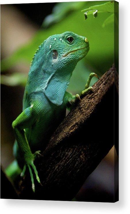 Brachylophus Fasciatus Acrylic Print featuring the photograph Fiji Iguana In Profile On Tree Branch by Ndp