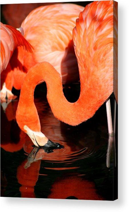 Pink Acrylic Print featuring the photograph Flamingo Taking A Dip by David Dunham