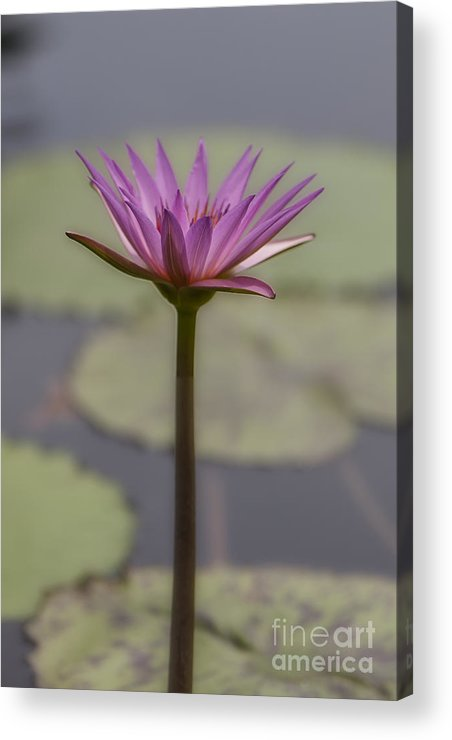 2015 Acrylic Print featuring the photograph Flower In A Pond by Larry Braun