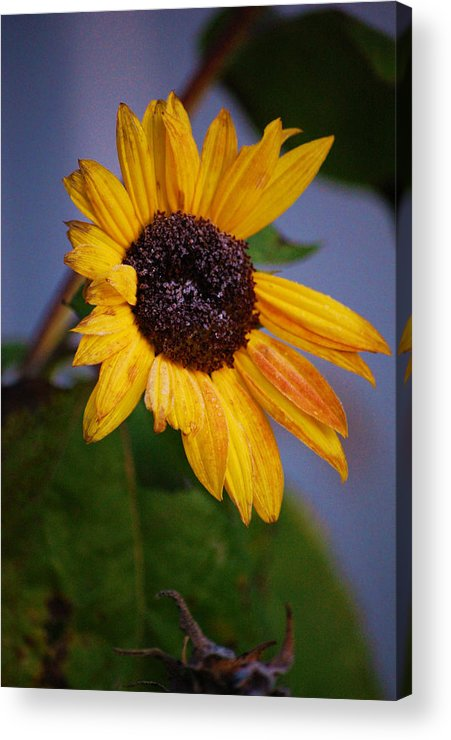 Flower Acrylic Print featuring the photograph Frosty Sunflower by Jame Hayes