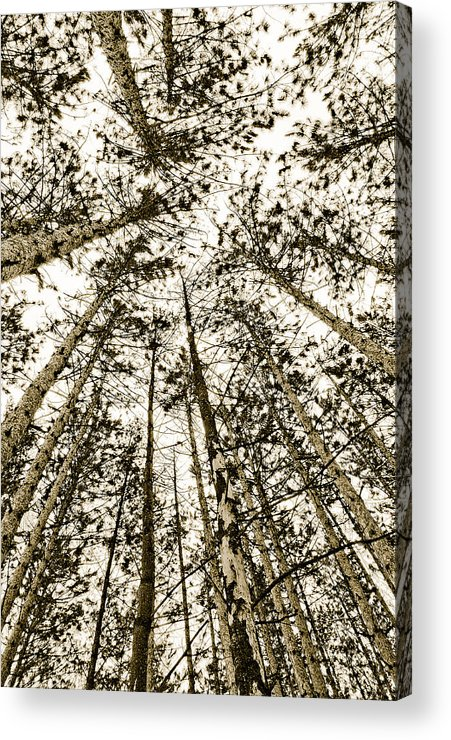 Pine Trees Acrylic Print featuring the photograph Fulfillment by Linda McRae