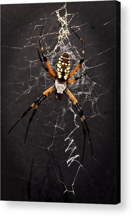 Spider Acrylic Print featuring the photograph Garden Spider And Web by Tamyra Ayles