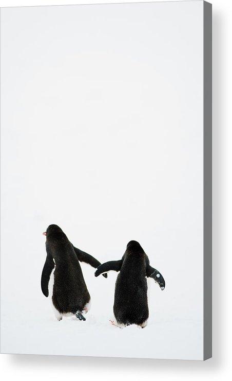 Vertical Acrylic Print featuring the photograph Gentoo Penguin (pygoscelis Papua) by Elliott Neep