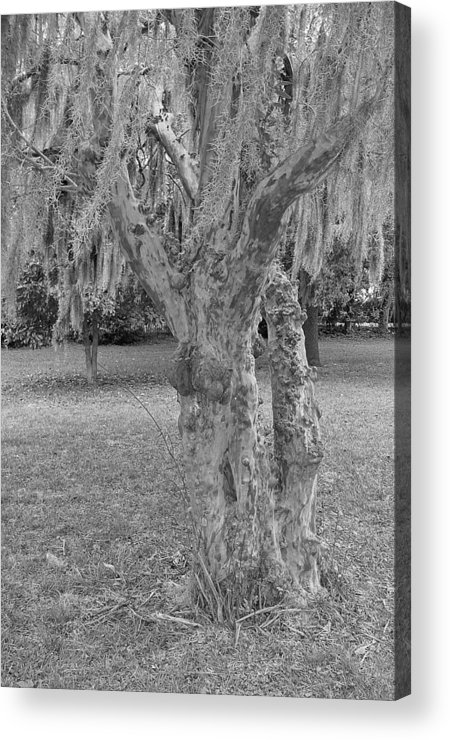Gnarly Acrylic Print featuring the photograph Gnarly - Black And White by Suzanne Gaff