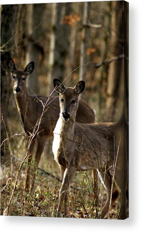 Deer Acrylic Print featuring the photograph Good Morning by Off The Beaten Path Photography - Andrew Alexander