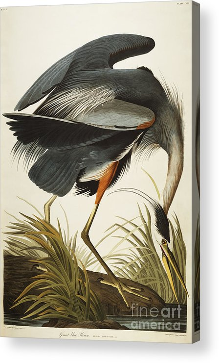 Great Blue Heron (ardea Herodias) Plate Ccxi From 'the Birds Of America' (aquatint & Engraving With Hand-colouring) By John James Audubon (1785-1851) Acrylic Print featuring the drawing Great Blue Heron by John James Audubon