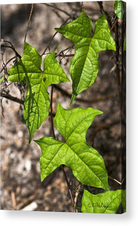 Green Acrylic Print featuring the photograph Green Arrowheads by Christopher Holmes