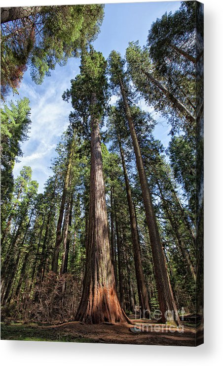 Redwood Trees Acrylic Print featuring the photograph Grove Of Big Trees by Sylvia Sanchez