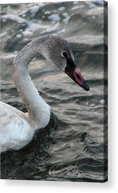 Trumpeter Swan Acrylic Print featuring the photograph Immature Swan by Rachel Roushey
