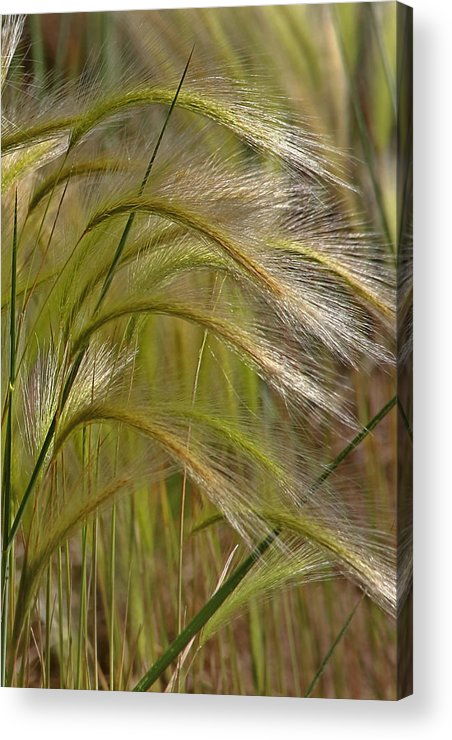 Grass Acrylic Print featuring the photograph Indiangrass Swaying Softly With The Wind by Christine Till