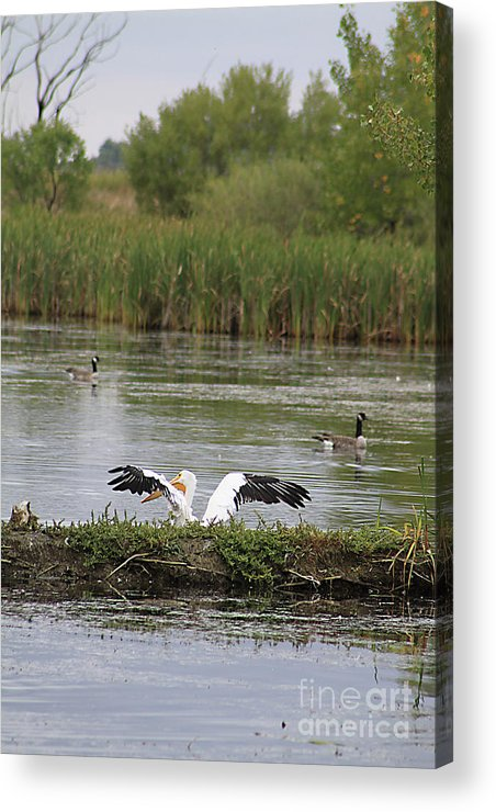 Animal Acrylic Print featuring the photograph Into The Water by Alyce Taylor